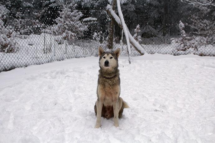 husky malamute